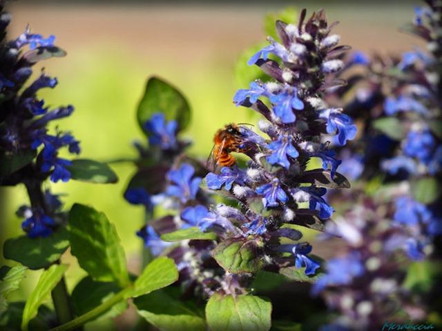 impollinazione d'ape